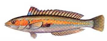 lapin balığı ile ilgili görsel sonucu