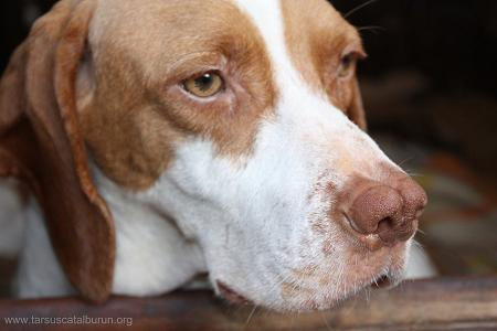 Av Köpekleri, Av Köpeği Eğitimi, ferma eğitimi, aport eğitimi, av köpeği ırkları, av köpeği cinsleri