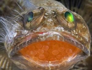 Jawfish Balığı