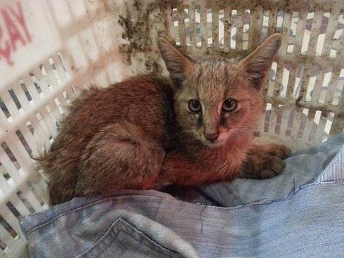 sazlik kedisi, vahşi sazlık kedisi