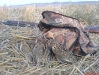 keklik-avi-resimleri (5)