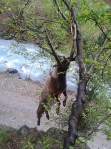 yaban keçisi, anadolu yaban keçisi, ölmüş yaban keçisi